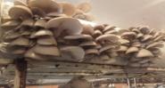 Био гъби кладница за домашно отглеждане Стара Загора
