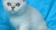 Британско мъжко котенце със сини очи