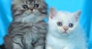 Клепоухо и правоухо мъжки котенца