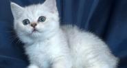 Сребърна чинчила с зелени очи