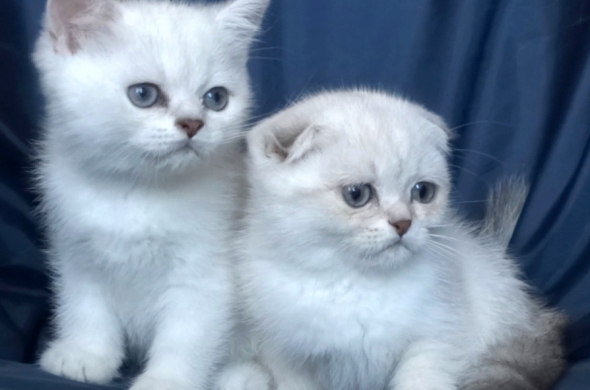 Колорпойнт - късокосмести котенца със сини очи