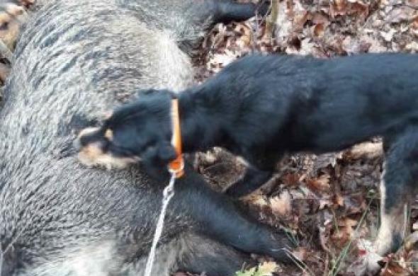 Ловни кучета 200лв