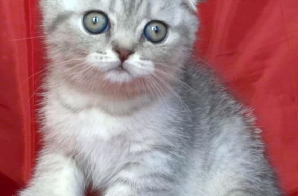 Клепоухи късокосмести котета